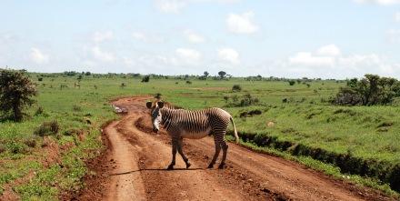 Begegnung mit einem Zebra.